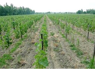 Продам виноградник в грузии голландия дома