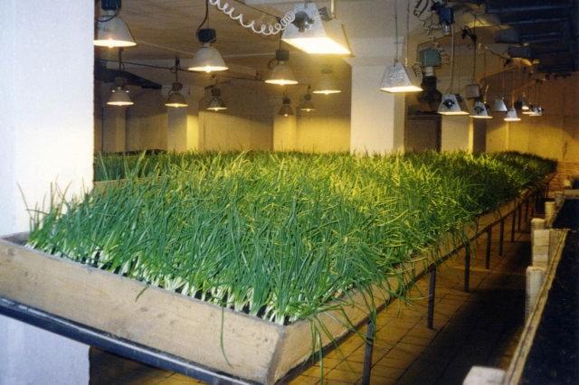 имея Выращивание зеленого лука в подвале Элвин мог